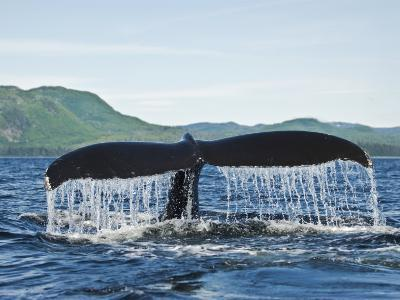 Humback Whale Diving with Tail Flukes Raised into the Air-James Forte-Photographic Print