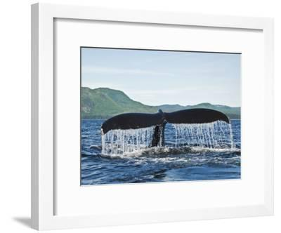 Humback Whale Diving with Tail Flukes Raised into the Air-James Forte-Framed Photographic Print