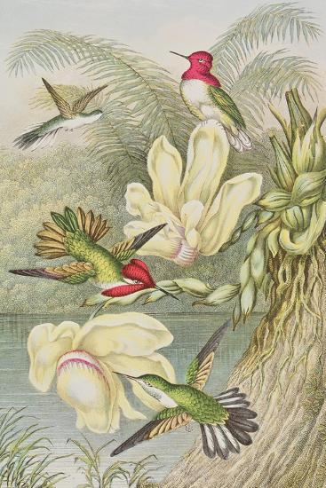 Humming Birds Among Tropical Flowers--Giclee Print