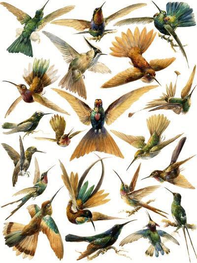 Humming Birds-English School-Giclee Print