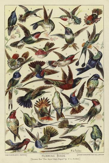 Humming Birds--Giclee Print