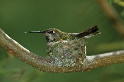 Hummingbird 2-Lee Peterson-Photographic Print