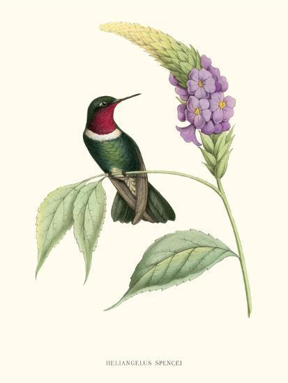 Hummingbird and Bloom II-Mulsant & Verreaux-Art Print