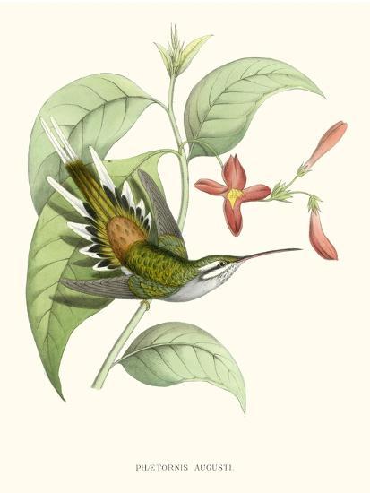 Hummingbird and Bloom III-Mulsant & Verreaux-Art Print