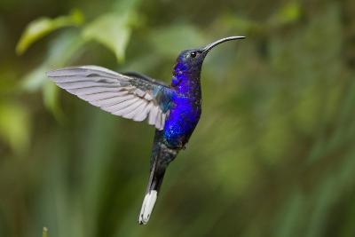 Hummingbird, Costa Rica--Photographic Print