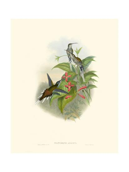 Hummingbird Delight IV-John Gould-Art Print
