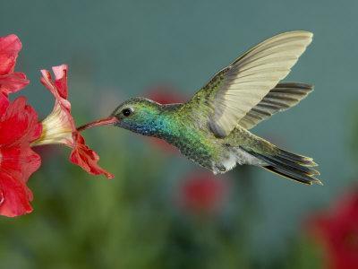 https://imgc.artprintimages.com/img/print/hummingbird-feeding-on-petunia-madera-canyon-arizona-usa_u-l-p86oqs0.jpg?p=0