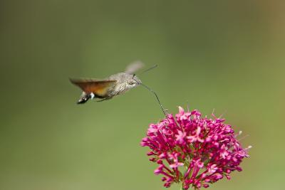 Hummingbird Hawkmoth in Flight Feeding on Valerian--Photographic Print