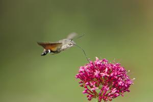 Hummingbird Hawkmoth in Flight Feeding on Valerian