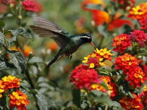Hummingbird Hovers over a Patch of Flowers as it Collects Nectar in Mexico City