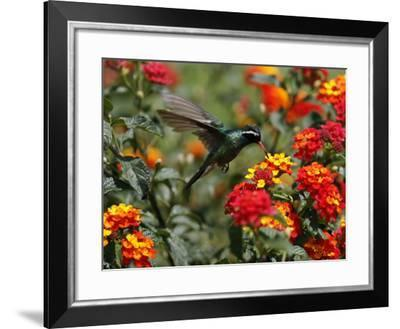 Hummingbird Hovers over a Patch of Flowers as it Collects Nectar in Mexico City--Framed Photographic Print