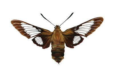 https://imgc.artprintimages.com/img/print/hummingbird-moth-hemaris-thysbe-insects_u-l-q135jde0.jpg?p=0