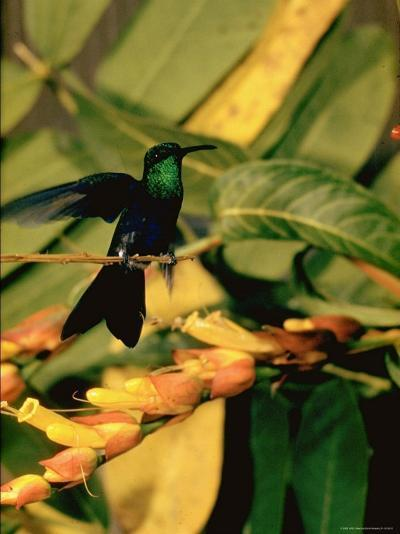 Hummingbird on a Branch in Amazonia-Dmitri Kessel-Photographic Print