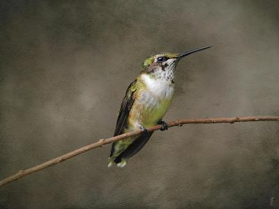 Hummingbird Portrait-Jai Johnson-Giclee Print