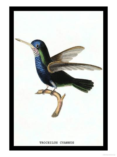 Hummingbird: Troceilus Cyaneus-Sir William Jardine-Art Print