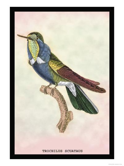 Hummingbird: Trochilus Scuataus-Sir William Jardine-Art Print