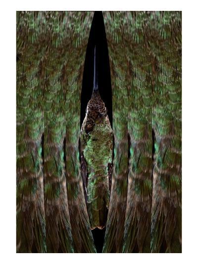 Hummingbird-Judy Tuwaletstiwa-Premium Giclee Print