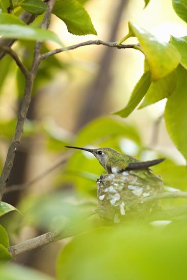 Hummingbird-Karyn Millet-Photographic Print