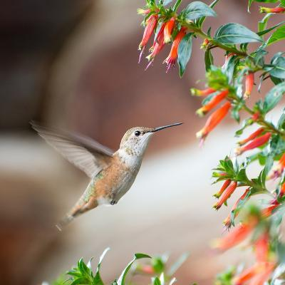 Hummingbird-Stan Hellmann-Photo