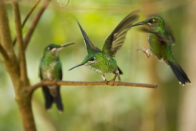 Hummingbirds, Costa Rica--Photographic Print