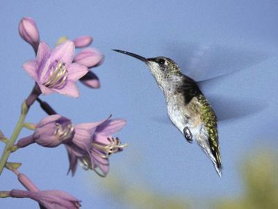 Hummingbirds in Indianapolis Backyard, Indiana, Usa-Anna Miller-Photographic Print