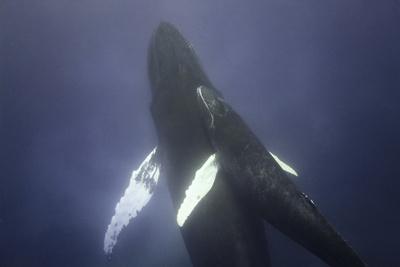 https://imgc.artprintimages.com/img/print/humpback-mother-and-calf_u-l-pzrkho0.jpg?p=0