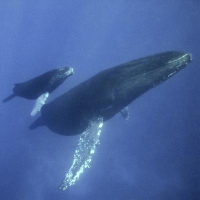 Humpback Mother and Calf-DLILLC-Photographic Print