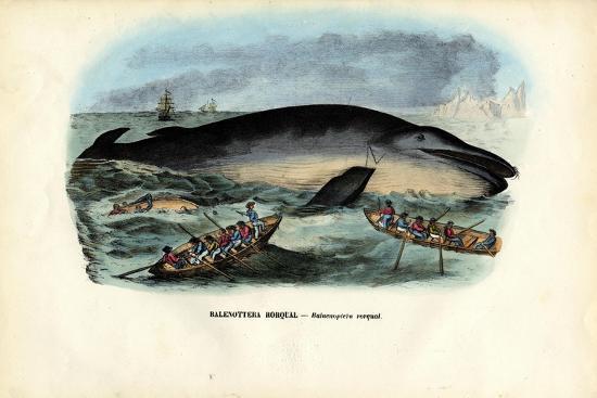 Humpback Whale, 1863-79-Raimundo Petraroja-Giclee Print