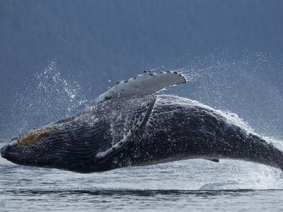 https://imgc.artprintimages.com/img/print/humpback-whale-breaching-chatham-strait-angoon-tongass-national-forest-alaska-usa_u-l-pfwprr0.jpg?p=0