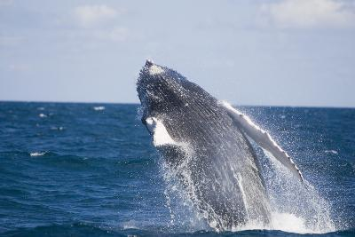 Humpback Whale Breaching from the Atlantic Ocean-DLILLC-Photographic Print