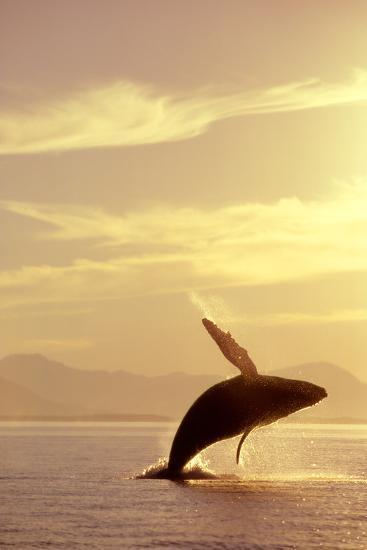 Humpback Whale Breaching in Inside Passage Se Ak Summer Backlit-Design Pics Inc-Photographic Print