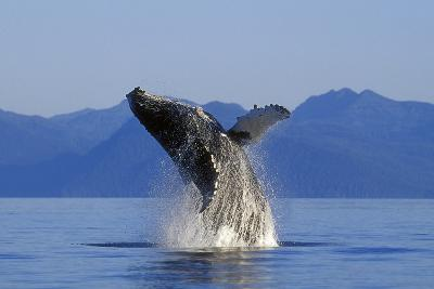Humpback Whale Breaching in Inside Passage Se Ak Summer-Design Pics Inc-Photographic Print