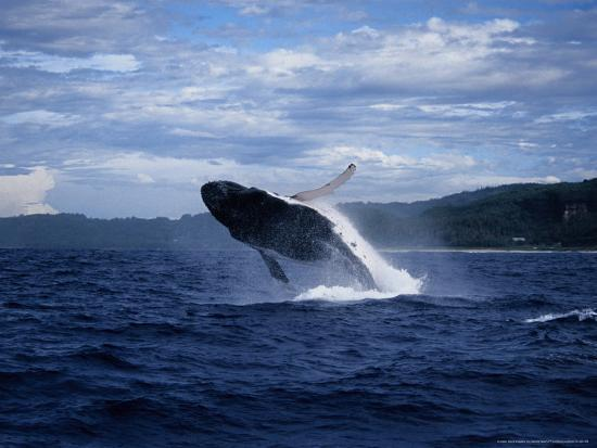 Humpback Whale, Breaching, Polynesia-Gerard Soury-Photographic Print