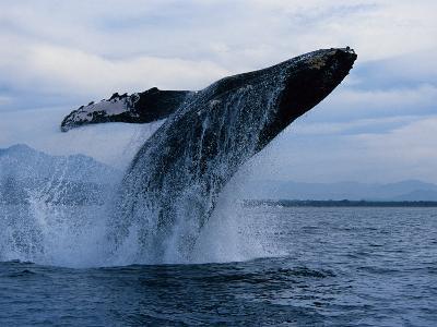 Humpback Whale, Breaching, Puerto Vallarta-Gerard Soury-Photographic Print