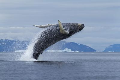Humpback Whale Calf Breach in Disko Bay in Greenland-Paul Souders-Photographic Print