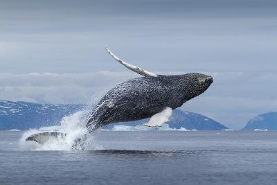 Humpback Whale Calf Breaching in Disko Bay in Greenland--Photographic Print