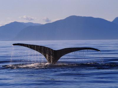 Humpback Whale Diving--Photographic Print