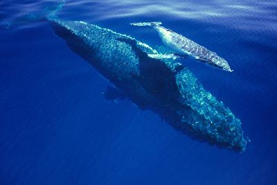 Humpback Whale Female and Her Week-Old Calf Tonga--Photographic Print