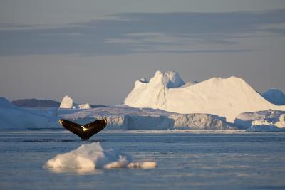 Humpback Whale in Disko Bay in Greenland-Paul Souders-Photographic Print