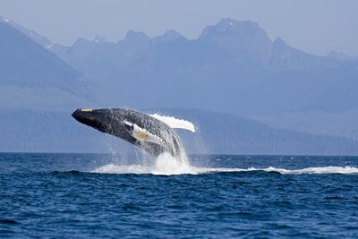 Humpback Whale in Inside Passage Leaping Out of the Water Southeast Alaska Summer-Design Pics Inc-Photographic Print