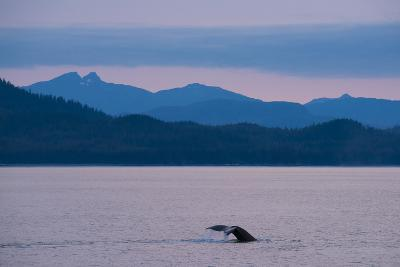 Humpback Whale in Stephens Passage-Michael Melford-Photographic Print