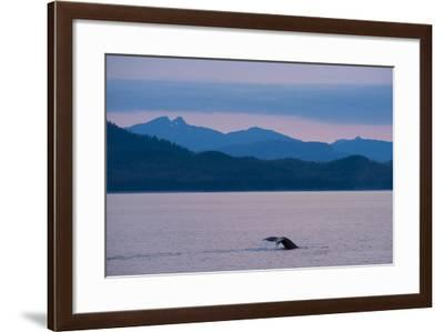 Humpback Whale in Stephens Passage-Michael Melford-Framed Photographic Print