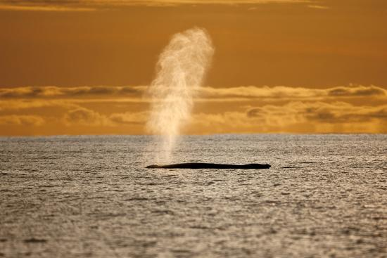 Humpback Whale (Megaptera Novaeangliae) Blowing at Sunset, Disko Bay, Greenland, August 2009-Jensen-Photographic Print