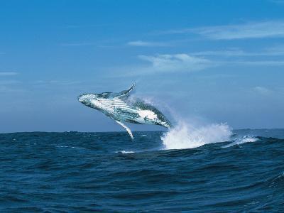 Humpback Whale (Megaptera Novaeangliae) Breaching in the Sea--Photographic Print