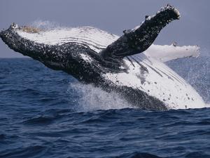 Humpback Whale (Megaptera Novaeangliae) Breaching in the Sea
