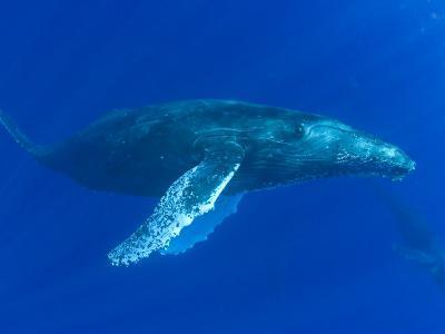 Humpback Whale (Megaptera Novaeangliae), Hawaii, USA-David Fleetham-Photographic Print