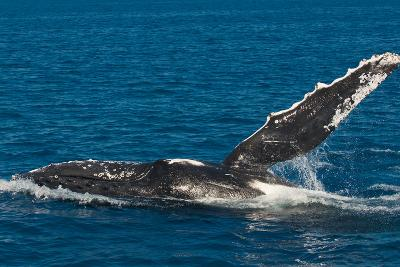Humpback Whale (Megaptera Novaeangliae) in Harvey Bay, Queensland, Australia, Pacific-Michael Runkel-Photographic Print