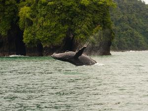 Humpback Whale (Megaptera novaeangliae) in the Pacific Ocean, Nuqui, Colombia