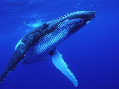 Humpback Whale (Megaptera Novaeangliae) Swimming, Underwater, Tonga-Mike Parry/Minden Pictures-Photographic Print