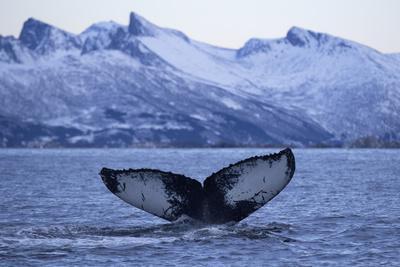 https://imgc.artprintimages.com/img/print/humpback-whale-megaptera-novaeangliae-tail-fluke-above-water-before-diving_u-l-q11q3bz0.jpg?p=0